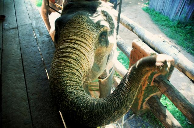wild elephant koh samui thailand