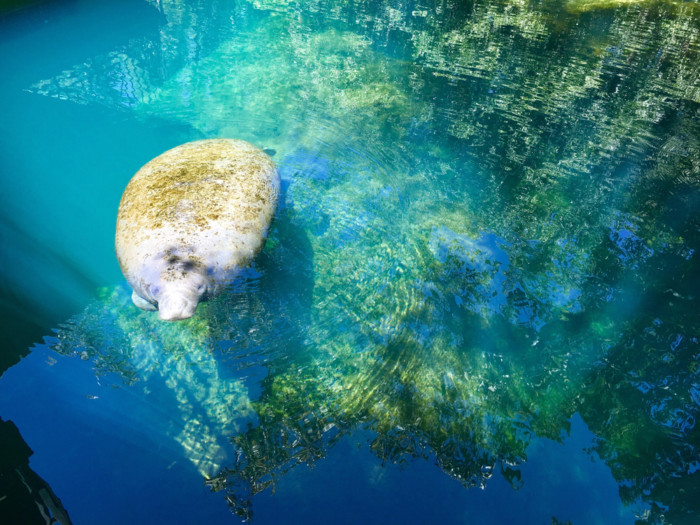 Best-Places-to-See-Manatees-in-Florida-state