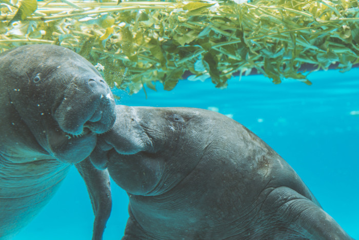 the-Best-Places-to-See-Manatees-in-Florida