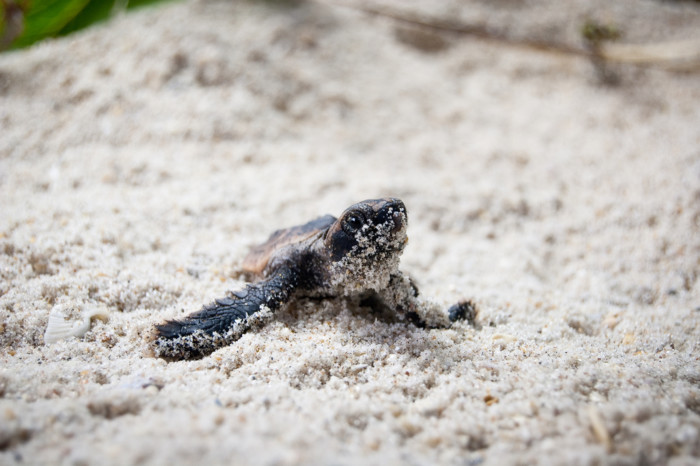 turtles nesting in the USA