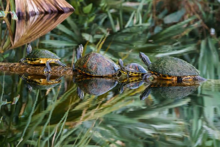 Turtles,On,A,Log,In,Boynton,Beach,,Florida
