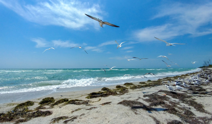 Seagulls,Flying,Over,The,Beach,In,Fort,De,Soto,Park