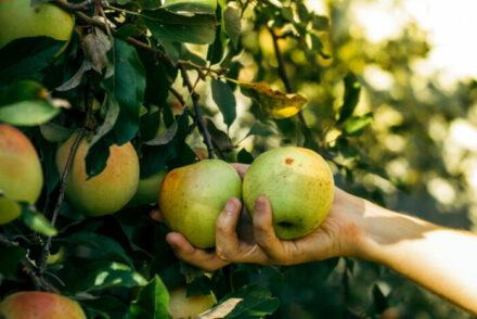 apple picking in NY